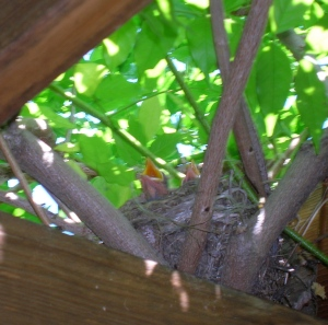 baby birds in pergola