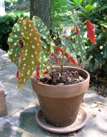 Polka dotted begonia in pot