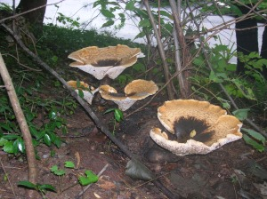 stump mushrooms