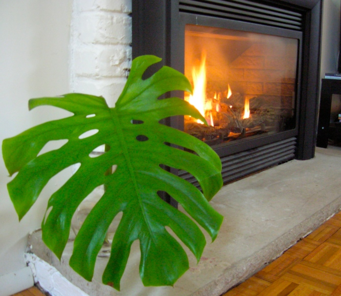 Monstera Leaf on Hearth