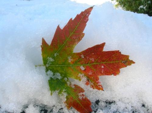 leaf in snow