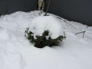 bush covered in snow