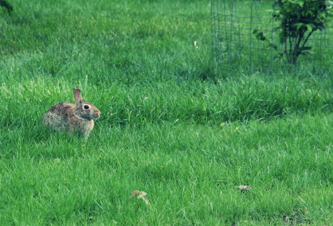 Bunny Eating New Grass